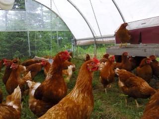 happy free range hens