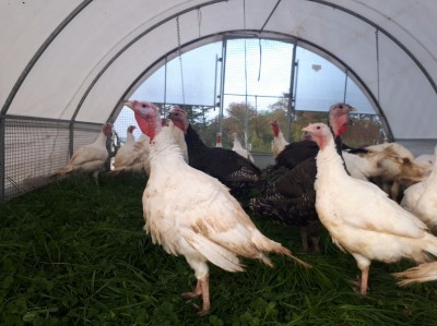 pastured turkeys in a Cackellac 1312