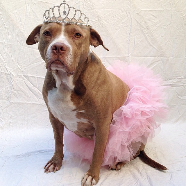 Pitbulls in tutus; pitbulls in tiaras; lexy the  elderbull; pitbull princes