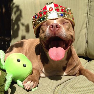 lexy the elderbull; pitbull myths; end bsl; end discrimination; pitbull love