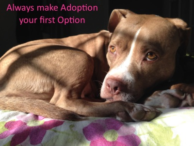 adopt don't shop; pitbull love; animal rescue; lexy the elderbull