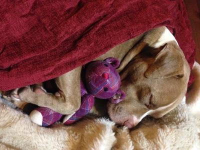 lexy the elderbull; pitbull love; pitbull myths; pitbull advocate