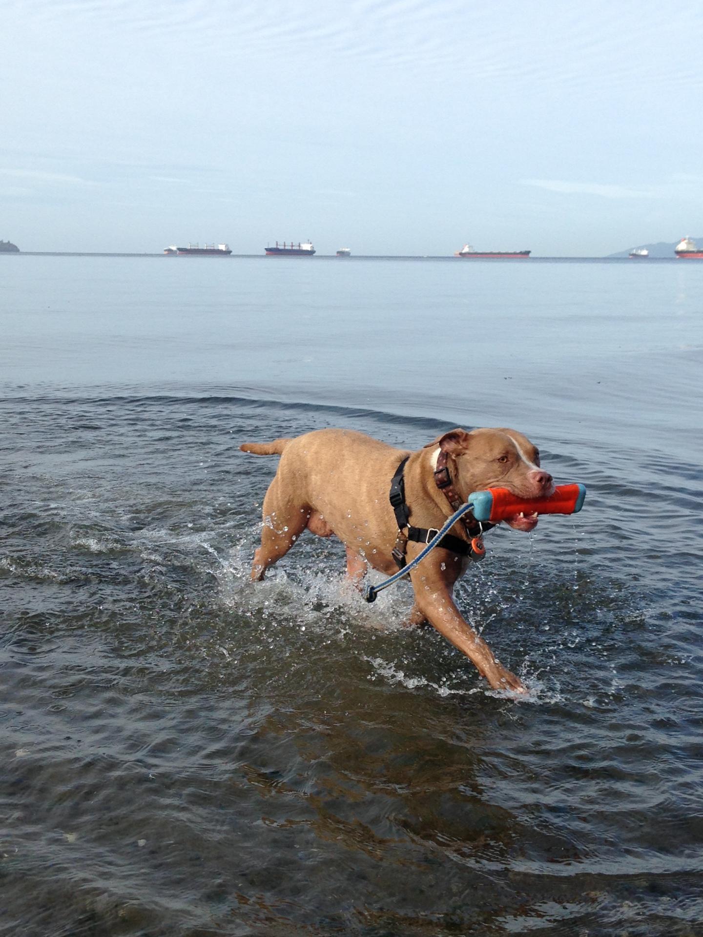 caring for  senior dogs; senior dog health; dog exercise; healthy  dog; lexy the elderbull; senior dog health; elderbull
