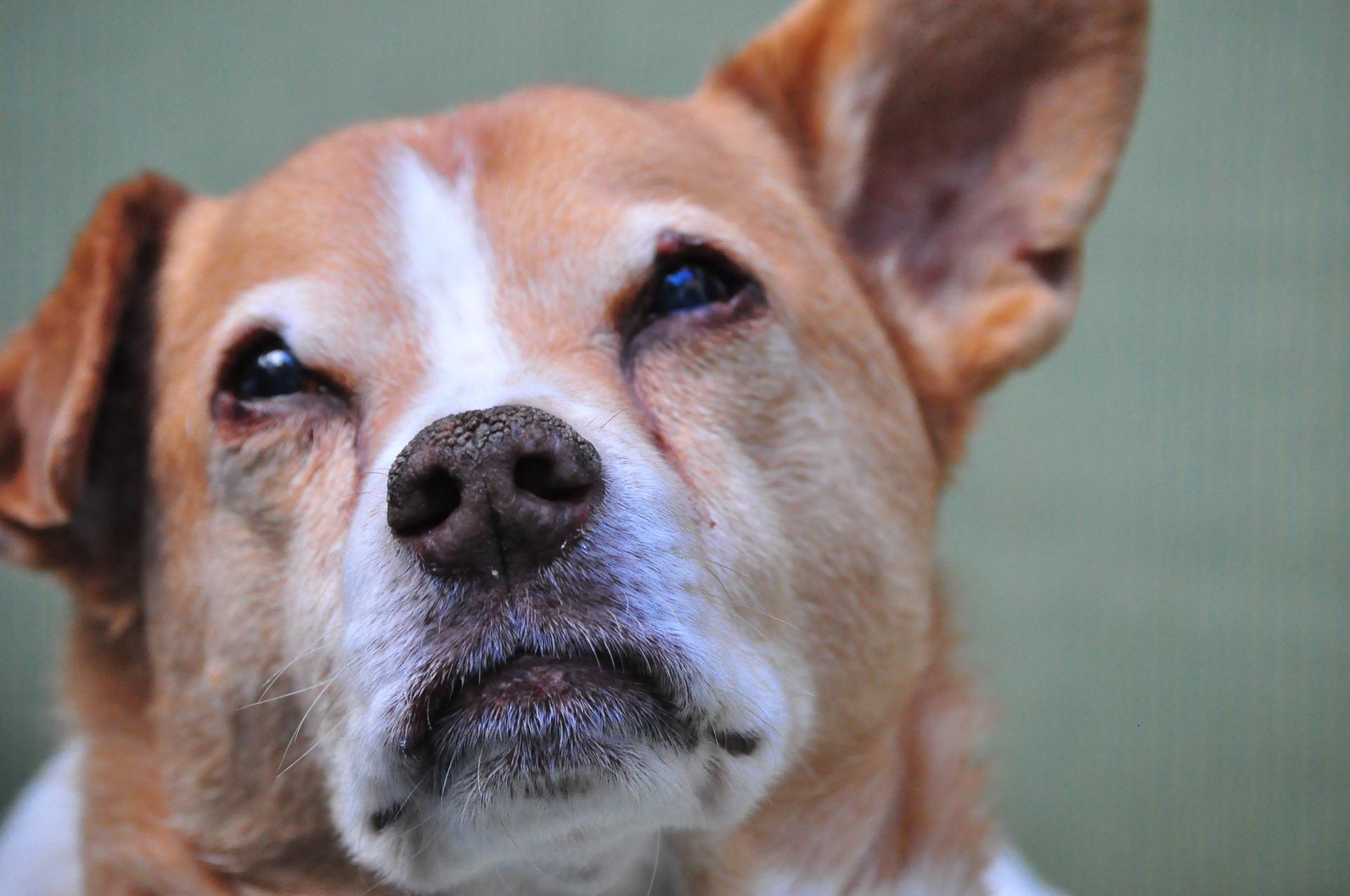 senior dog; pitbull love; love senior dogs; love is ageless; lexy the elderbull