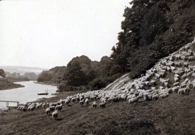 Driving sheep to the river 1910