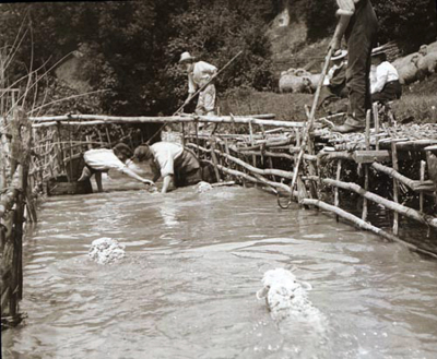 Sheep washing 1920