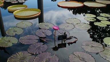 MOBot Botanical Gardens Lillies