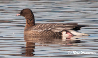 Pink Footed Goose, wildlife, Scotland, winter visitor