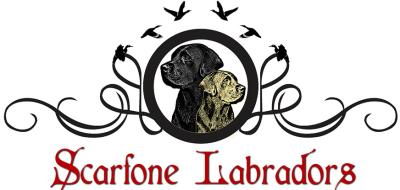 Scarfone Labradors