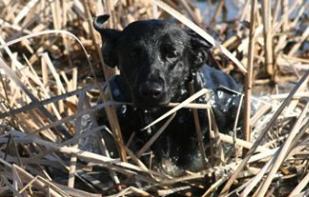 Blackhawk Labradors