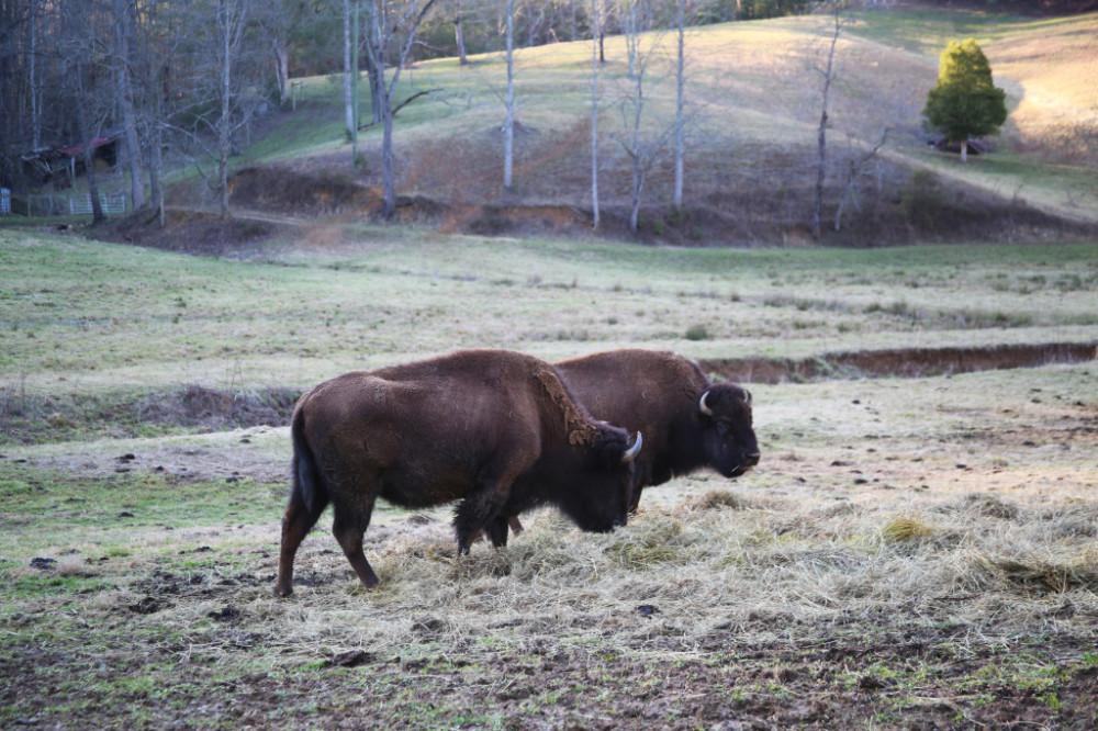 Buffalo or Bison?