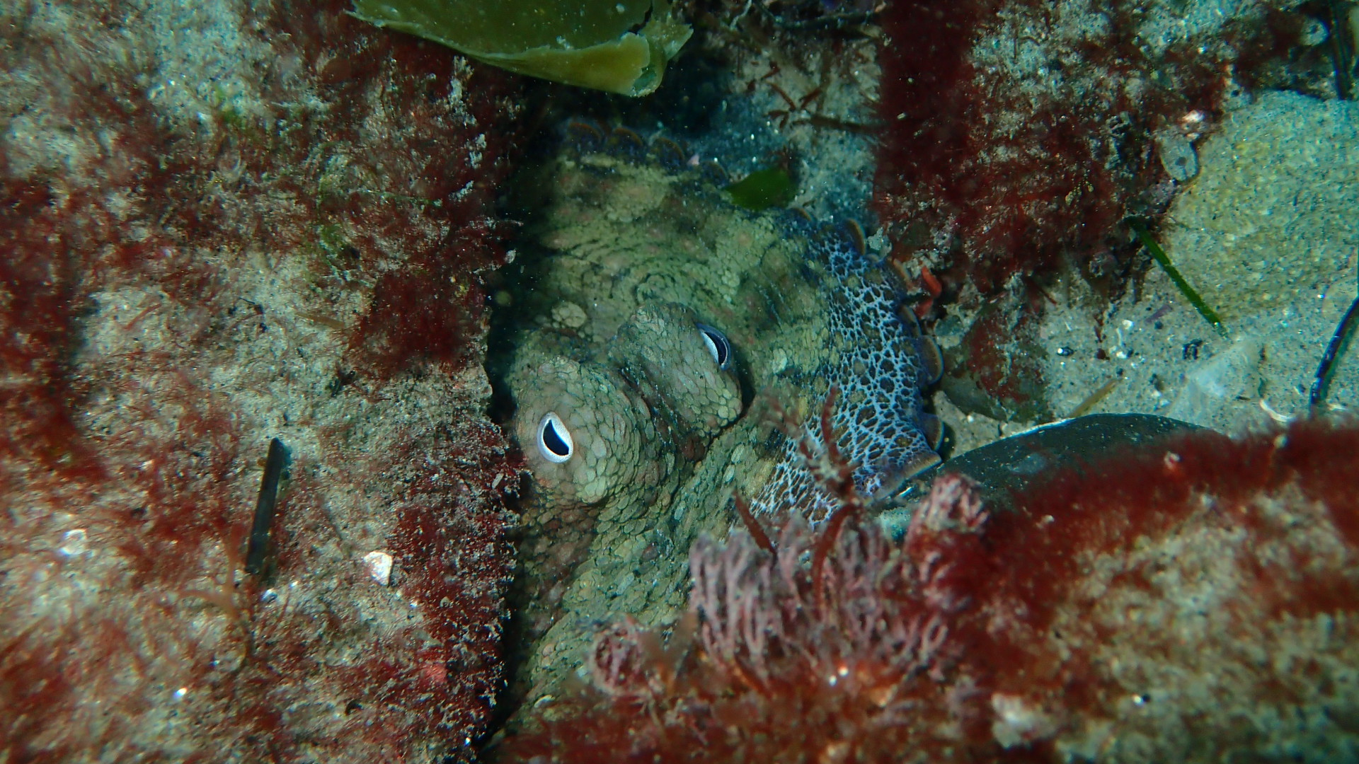 Channel Island National Park Dive, Octopus Eye Photo