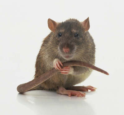 The Rat Catcher