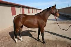 Quarter Horse A