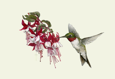 """Hummingbird & Fuchsia""   ruby-throated hummingbird   $60"