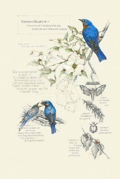 """Birds, Bugs and Berries - Bluebirds"""
