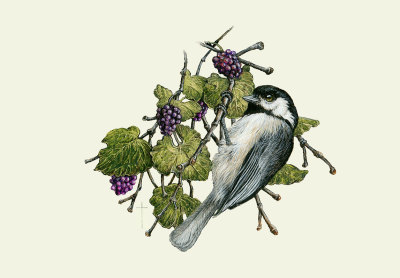 """Mulberry Harvest""   black-capped chickadee and mulberries    $60"