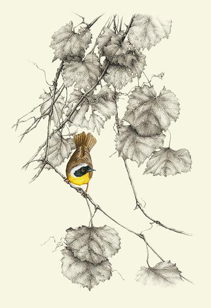 """Common Yellow-throat Warbler & Wild Grapevine"""