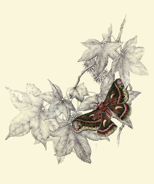 """Cecropia Moth & Sweet Gum"""