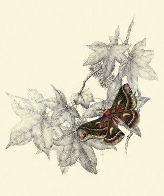 """""""Cecropia Moth & Sweet Gum""""     LG $60      SM $45"""