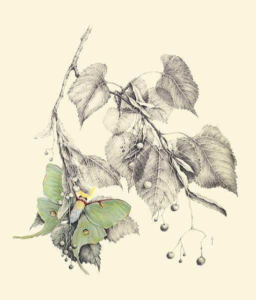 """Luna Moth & Basswood"""
