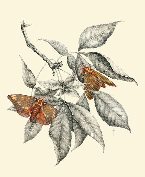 """""""Regal Moth & Hickory"""""""