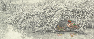 """Cold shoulder""    green-winged teal - gouache and pencil    $4,200"