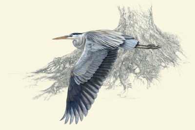 """Homeward Bound""     great blue heron - gouache and pencil    $6,200"