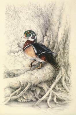 """River Woodie""   wood duck         $90"