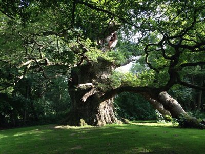 "The 450-to-1000-year-old ""Majesty Oak"" shows something of the wonders that ageing brings."