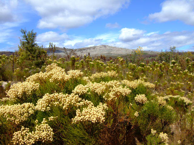 The Flora (Fynbos)