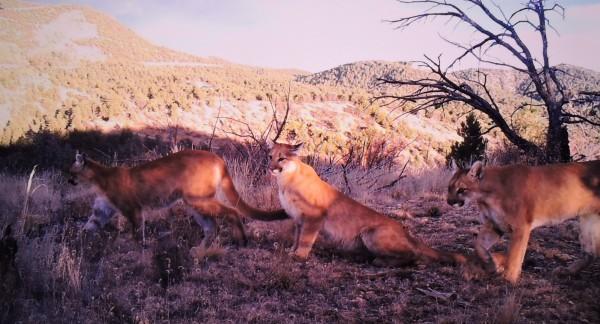 Adonian Lions
