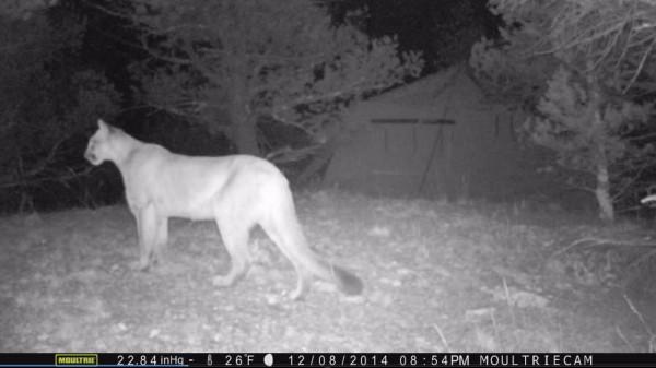 Tent Cougar