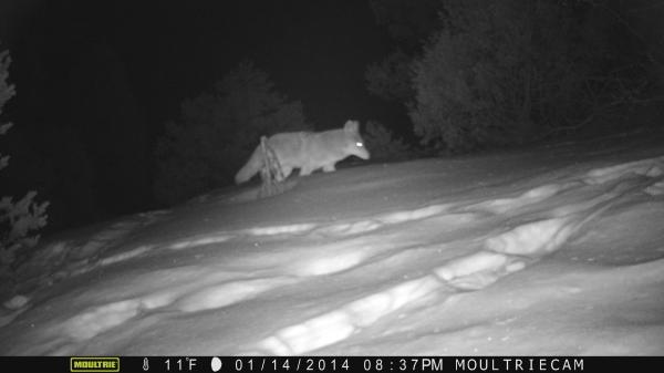 Snow Coyote
