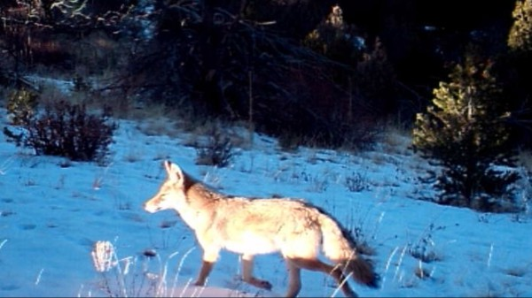 Coyote Team Hunt 1