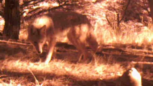Rock Coyote