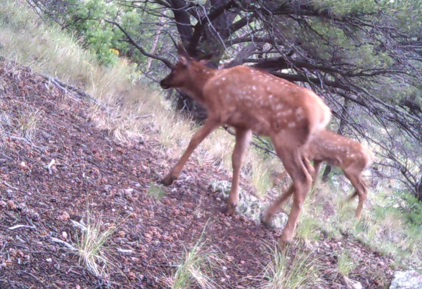 Family Elk