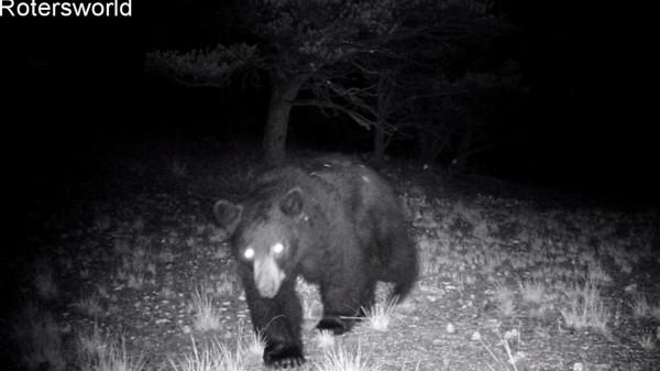Adonian Bear 1