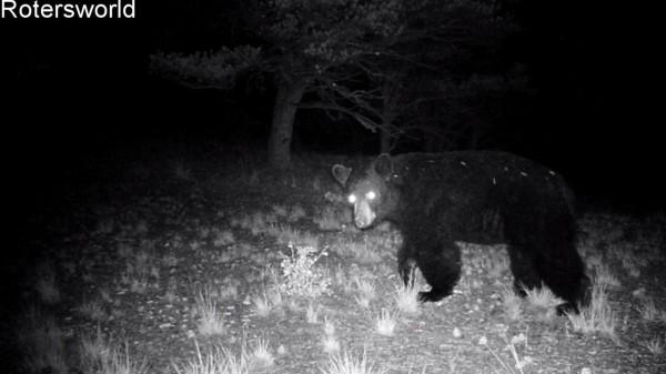 Adonian Bear 2