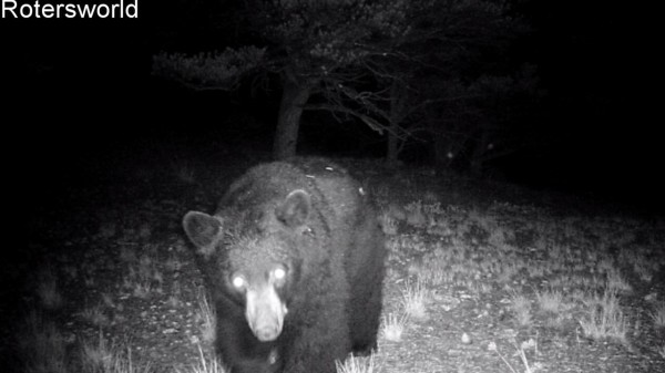 Adonian Bear 3