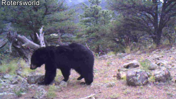 Adonian Bear 5