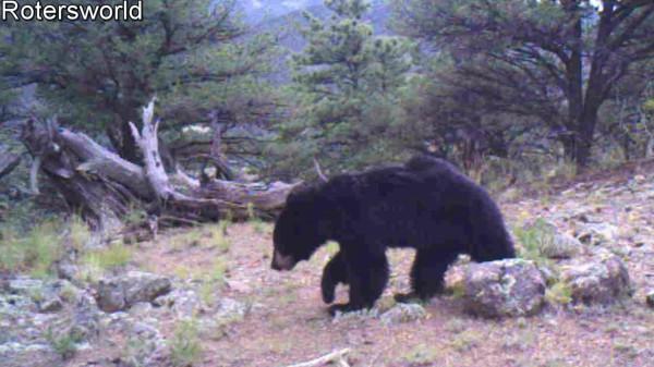 Adonian Bear 6
