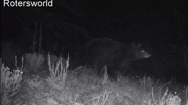 Adonian Bear 7