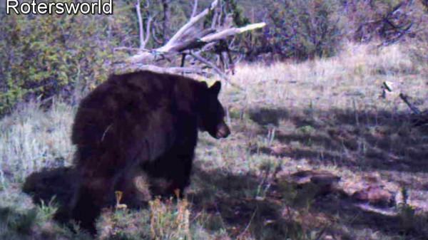 Adonian Bear 8