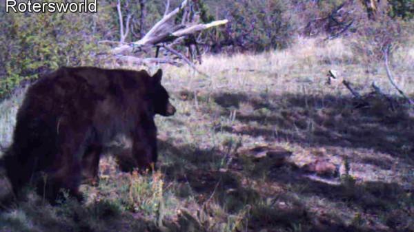 Adonian Bear 9