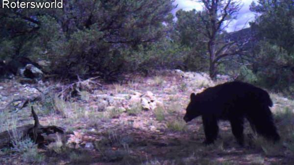 Adonian Bear 10