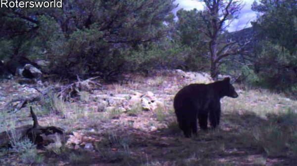 Adonian Bear 11