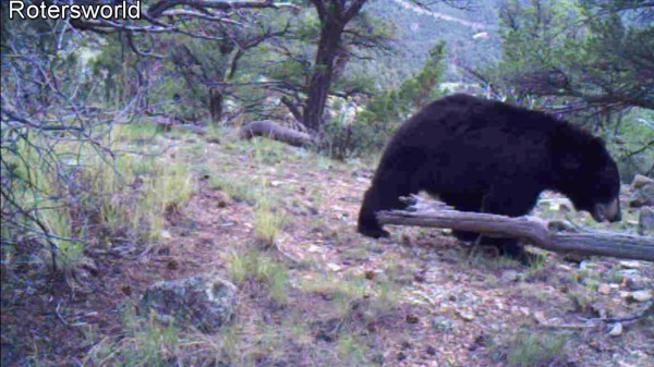 Adonian Bear 13