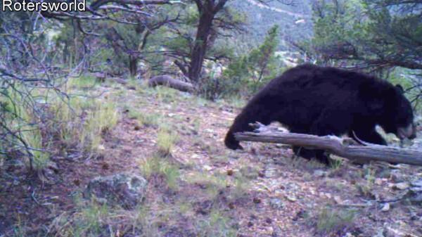 Adonian Bear 14
