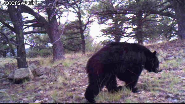 Bear A1